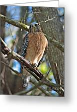 Red-shouldered Hawk On Branch Greeting Card