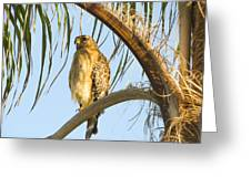 Red-shouldered Hawk On The Palm Tree Greeting Card
