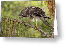 Red Shouldered Hawk Photo Greeting Card