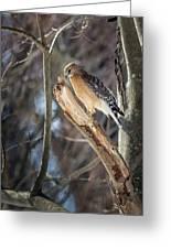 Red Shouldered Hawk Portrait Greeting Card