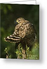 Red-shouldered Hawk Wild Texas Greeting Card
