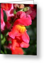 Red Snapdragons IIi Greeting Card by Aya Murrells