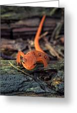 Red Spotted Newt Greeting Card