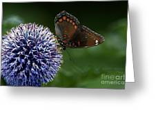 Red Spotted Purple Butterfly Gathering Nectar  Greeting Card
