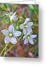 Red-spotted Saxifrage Along Horseshoe Lake Trail In Denali Np-ak  Greeting Card