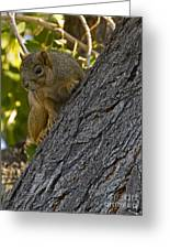 Red Squirrel    #1736 Greeting Card