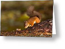 Red Squirrel In Autumn Greeting Card