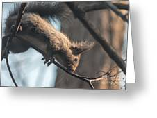 Red Squirrel Licking Dew Droplets  Greeting Card
