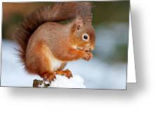 Red Squirrel Portrait Greeting Card