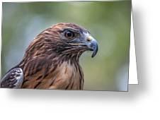 Red Tail Hawk Greeting Card by John Haldane