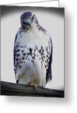 Red Tail Hawk Looking Curious Greeting Card