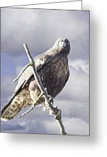 Red Tail Hawk Greeting Card