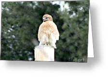 Red Tail Hawk Waiting On A Pole Greeting Card