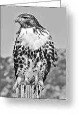 Red Tail Hawk Youth Black And White Greeting Card