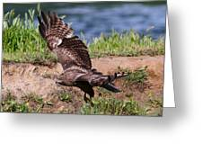 Red Tail On The Hunt Greeting Card