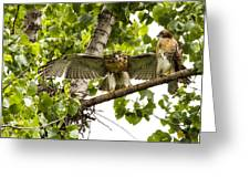 Red-tailed Fledges Greeting Card