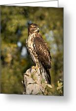 Red Tailed Hawk 1 Greeting Card