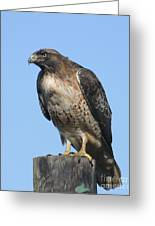 Red-tailed Hawk Monterey California  2008 Greeting Card