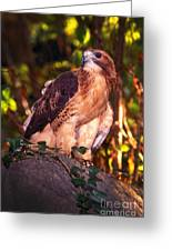 Red Tailed Hawk - 53 Greeting Card