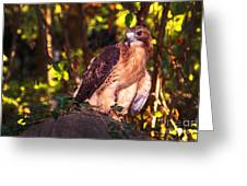 Red Tailed Hawk - 54 Greeting Card