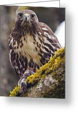 Red Tailed Hawk - Breakfast Close Up Greeting Card