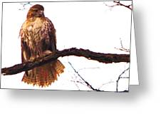 Red-tailed Hawk Drying Out Greeting Card