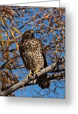 Red-tailed Hawk In A Willow Tree Greeting Card