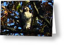 Red Tailed Hawk In Tree Greeting Card