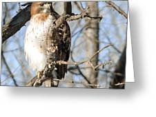 Red-tailed Hawk Looking Greeting Card
