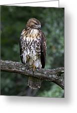 Red-tailed Hawk On Oak Greeting Card