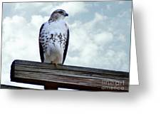 Red Tailed Hawk Waiting Greeting Card