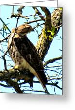 Red Tailed Interest Greeting Card