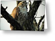 Red Tailed Morning Greeting Card