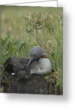 Red-throated Loon With Chick On Nest Greeting Card