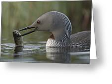 Red-throated Loon With Fish Alaska Greeting Card