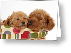 Red Toy Poodle Puppies Greeting Card
