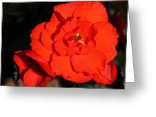Red Tuberous Begonia Flower Greeting Card