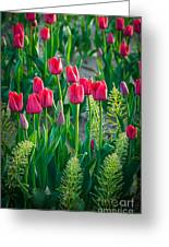 Red Tulips In Skagit Valley Greeting Card