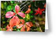 Red Viginia Creeper And Maple Leaves Greeting Card