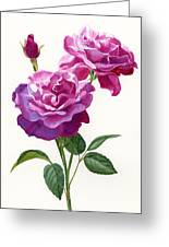 Red Violet Roses With Bud On White Greeting Card