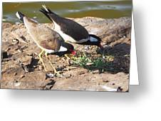 Red-wattled Lapwing Greeting Card