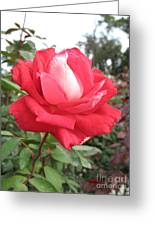 Red-white Rose Greeting Card