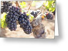 Red Wine Grapes Growing On Old Grapevine Greeting Card