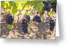 Red Wine Grapes Hanging On Grapevines Greeting Card