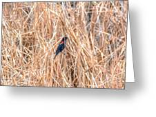 Red Wing Blackbird  Greeting Card
