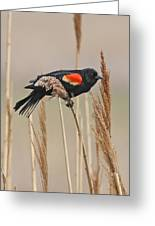 Red-wing Blackbird Greeting Card