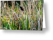 Red-winged Black Bird In The Cattails Greeting Card