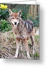 Red Wolf Alert Greeting Card