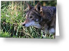Red Wolf On The Hunt Greeting Card