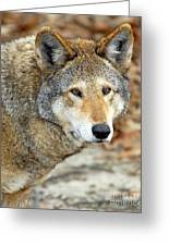 Red Wolf Portrait Greeting Card